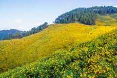 Mexican sunflower field. Royalty Free Stock Photo