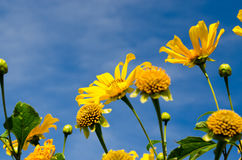 Mexican Sunflower Stock Photography