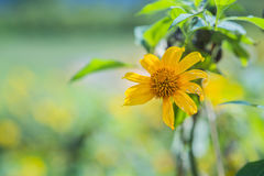 Mexican sunflower in green garden in the moring Stock Image
