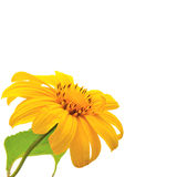 Mexican sunflower isolated on white background Royalty Free Stock Photo