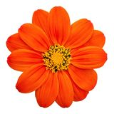 Mexican Sunflower isolated on white background stock photo