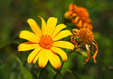 Mexican sunflower Royalty Free Stock Images