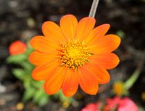 A Mexican Sunflower Macro stock photography