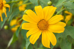 Mexican Sunflower Stock Photo