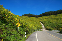 Mexican sunflower in Maehongson Stock Photo