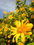 Mexican Sunflower Royalty Free Stock Photos