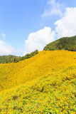 Mexican sunflower mountian in Mae Hong Son Royalty Free Stock Photography