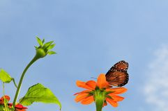 Mexican Sunflower & Queen butterfly Stock Images