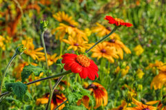 Mexican sunflower in summer Stock Photos