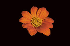 Mexican Sunflower Royalty Free Stock Photography