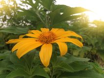 Mexican sunflower or tithonia diversifolia on nature background0 stock photography