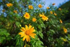 Mexican sunflower or Tithonia diversifolia, Thailand. Mexican sunflower or Tithonia diversifolia (Origin at Mexico) Thailand Stock Photos