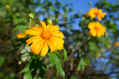 Mexican sunflower or Tithonia diversifolia, Thailand. Mexican sunflower or Tithonia diversifolia (Origin at Mexico) Thailand Royalty Free Stock Photo