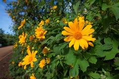 Mexican sunflower or Tithonia diversifolia, Thailand. Mexican sunflower or Tithonia diversifolia (Origin at Mexico) Thailand Stock Photo