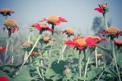 Mexican sunflower or Tithonia rotundifolia flower Stock Photos