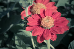 Mexican sunflower or Tithonia rotundifolia flower Royalty Free Stock Image