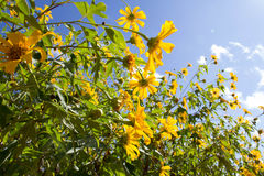 Mexican Sunflower under blue sky. Mexican Sunflower Field under clear blue sky Stock Images