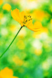 Mexican sunflower weed Stock Image