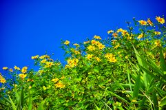 Mexican Sunflower Weed ant view Royalty Free Stock Photos