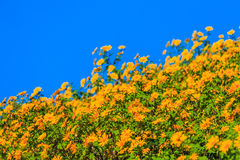 Mexican Sunflower Weed Royalty Free Stock Photo