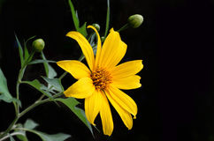 Mexican sunflower weed Royalty Free Stock Image