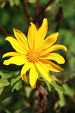 Mexican Sunflower Weed bloom Stock Image