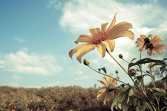 Mexican sunflower weed and blue sky background Royalty Free Stock Photography