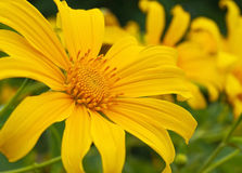 Mexican sunflower weed Royalty Free Stock Photography