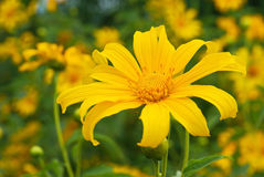 Mexican sunflower weed Stock Photos