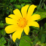 Mexican Sunflower Weed Royalty Free Stock Photos