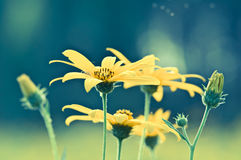 Mexican Sunflower Weed Closed-up in Vintage Tone Stock Images