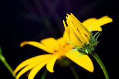 Mexican Sunflower Weed Closed-up Royalty Free Stock Photos