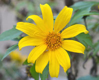 Mexican sunflower weed Royalty Free Stock Images