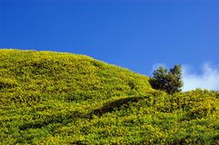 Mexican sunflower weed on the hill and blue sky Stock Image