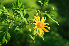 Mexican Sunflower Weed. In meahongson province, thailand Stock Photo