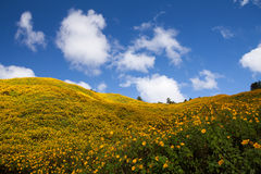 Mexican Sunflower Weed on the mountain,Mae Hong Son Province Stock Image