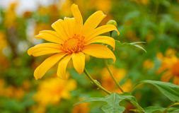 Mexican Sunflower Weed, Northern Thailand Stock Photos