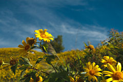 Mexican Sunflower Weed Stock Photo