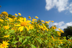 Mexican sunflower weed Stock Images