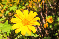 Mexican Sunflower Weed Stock Photography