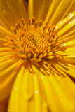 Mexican sunflower.  Stock Image