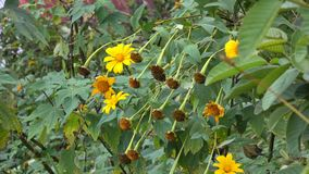 Mexican sunflowers. At the park stock footage