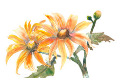 Mexican sunflowers on white, watercolor painting Stock Photography