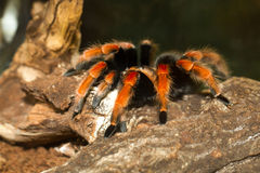 Mexican tarantula brachypelma with red knees stock photography