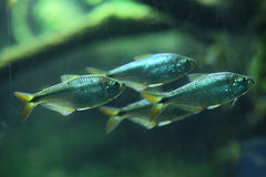 Mexican tetra (Astyanax mexicanus) Royalty Free Stock Image