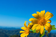 Mexican tournesol flower with cloudy sky background. Royalty Free Stock Photography