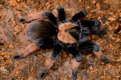 Mexican True Red Leg tarantula(Brachypelma emilia) Stock Images
