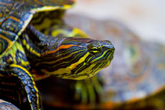 Mexican Turtle Royalty Free Stock Photos