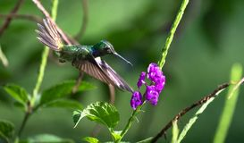 Mexican violetear Colibri thalassinus in flight. Mexican violetear Colibri thalassinus, feeding from a flower on the Osa Peninsula, Costa Rica royalty free stock photography