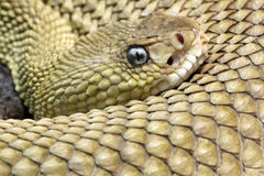 Mexican west-coast rattlesnake Stock Image